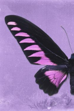 Miss Butterfly Brookiana Profil - Mauve by Philippe Hugonnard