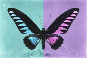 Miss Butterfly Brookiana Profil - Turquoise & Mauve by Philippe Hugonnard
