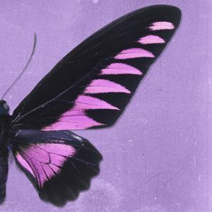 Miss Butterfly Brookiana Sq - Mauve by Philippe Hugonnard