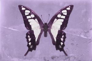 Miss Butterfly Cloanthus - Mauve by Philippe Hugonnard