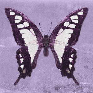 Miss Butterfly Cloanthus Sq - Mauve by Philippe Hugonnard