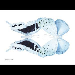 Miss Butterfly Duo Euploanthus Sq - X-Ray B&W Edition by Philippe Hugonnard