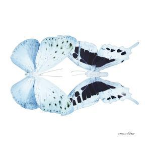 Miss Butterfly Duo Euploanthus Sq - X-Ray White Edition by Philippe Hugonnard
