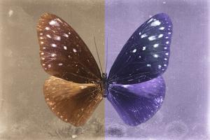 Miss Butterfly Euploea - Caramel & Purple by Philippe Hugonnard