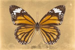 Miss Butterfly Genutia - Honey by Philippe Hugonnard