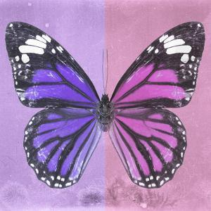 Miss Butterfly Genutia Sq - Purple & Pink by Philippe Hugonnard