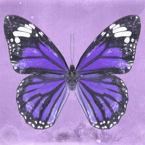 Miss Butterfly Genutia Sq - Purple by Philippe Hugonnard