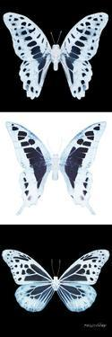 Miss Butterfly X-Ray Pano II by Philippe Hugonnard