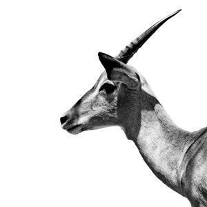 Safari Profile Collection - Antelope Impala White Edition III by Philippe Hugonnard
