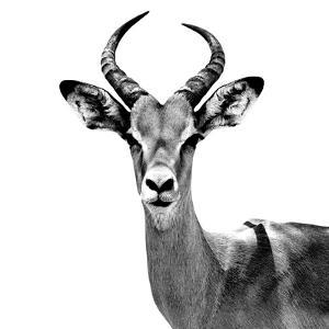 Safari Profile Collection - Antelope White Edition V by Philippe Hugonnard