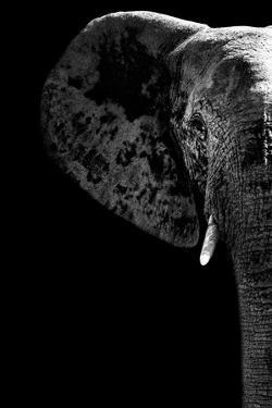 Safari Profile Collection - Elephant Black Edition III by Philippe Hugonnard