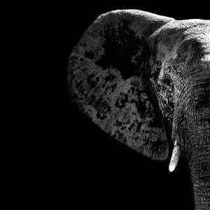 Safari Profile Collection - Elephant Portrait Black Edition II by Philippe Hugonnard