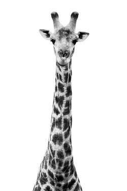 Safari Profile Collection - Giraffe White Edition VIII by Philippe Hugonnard