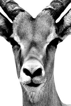 Safari Profile Collection - Portrait of Antelope White Edition by Philippe Hugonnard