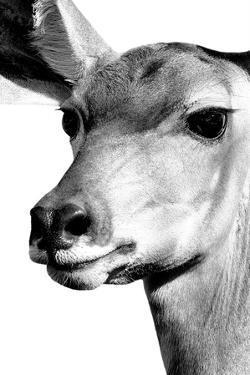 Safari Profile Collection - Portrait of Impala White Edition by Philippe Hugonnard