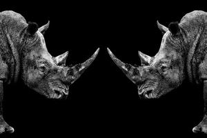 Safari Profile Collection - Rhinos Face to Face Black Edition by Philippe Hugonnard