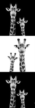 Safari Profile Collection - Two Giraffes III by Philippe Hugonnard