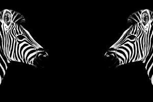 Safari Profile Collection - Zebras Face to Face Black Edition by Philippe Hugonnard