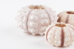 So Pure Collection - Beautiful White Sea Urchin shells II by Philippe Hugonnard