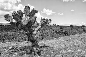 ¡Viva Mexico! B&W Collection - Cactus in the Mexican Desert IV by Philippe Hugonnard