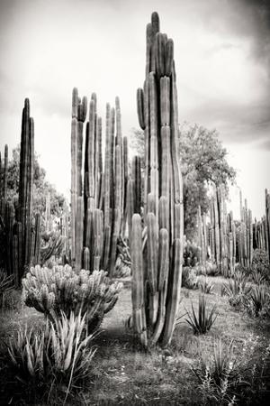 ¡Viva Mexico! B&W Collection - Cardon Cactus IV by Philippe Hugonnard
