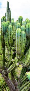 ¡Viva Mexico! Panoramic Collection - Cactus II by Philippe Hugonnard