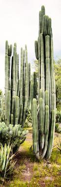 ¡Viva Mexico! Panoramic Collection - Cactus IV by Philippe Hugonnard