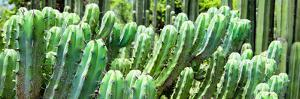 ¡Viva Mexico! Panoramic Collection - Cactus by Philippe Hugonnard