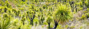 ¡Viva Mexico! Panoramic Collection - Joshua Trees by Philippe Hugonnard