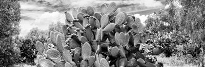 ¡Viva Mexico! Panoramic Collection - Prickly Pear Cactus V by Philippe Hugonnard