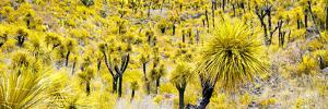 ¡Viva Mexico! Panoramic Collection - Yellow Joshua Trees by Philippe Hugonnard