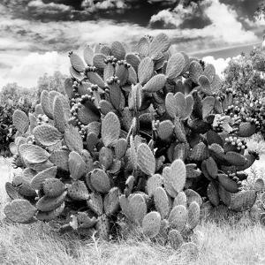 ¡Viva Mexico! Square Collection - Prickly Pear Cactus IV by Philippe Hugonnard