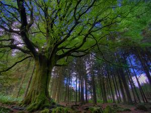 Ponthus Beech Tree 1 by Philippe Manguin