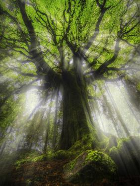 Ponthus Beech Tree 2 by Philippe Manguin