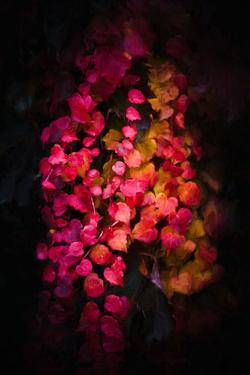 Fall Ivy by Philippe Saint-Laudy