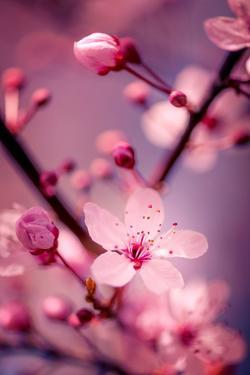 Cherry Blossom 2 by Philippe Sainte-Laudy