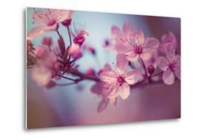 Cherry Blossums 1 by Philippe Sainte-Laudy
