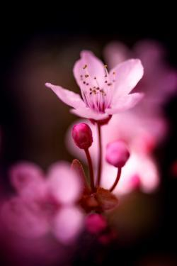 Cherry Blossums 3 by Philippe Sainte-Laudy
