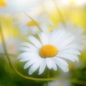 Daisy by Philippe Sainte-Laudy