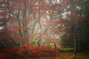 Foggy Woods by Philippe Sainte-Laudy