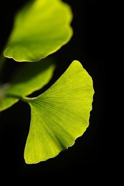 Gingko I by Philippe Sainte-Laudy