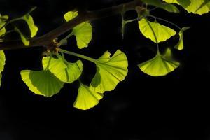 Gingko Leaves in Spring by Philippe Sainte-Laudy