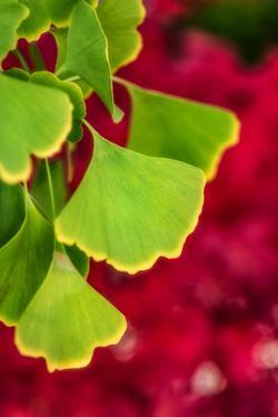 Ginkgo on Maple Background by Philippe Sainte-Laudy