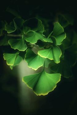 Green Leaves of Ginkgo by Philippe Sainte-Laudy
