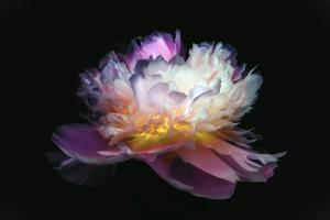 Inverted peony by Philippe Sainte-Laudy