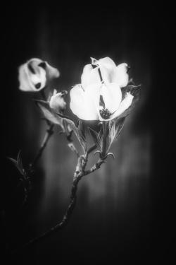 Light and White Flowers by Philippe Sainte-Laudy
