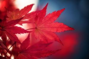 Maple Red by Philippe Sainte-Laudy