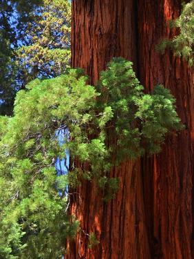 Sequoia Art by Philippe Sainte-Laudy