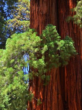 Sequoia Art by Philippe Sainte-Laudy