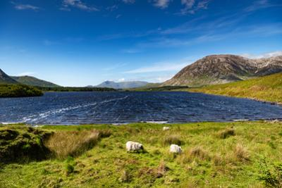 The Sheep of Connemara by Philippe Sainte-Laudy